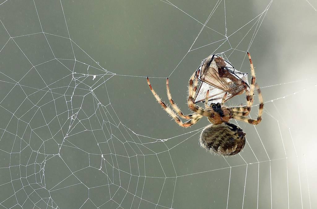 A European garden spider (Araneus diadematus) wraps its prey, a mosquito, in silk on Sept.16, 2014, in Lille, France.