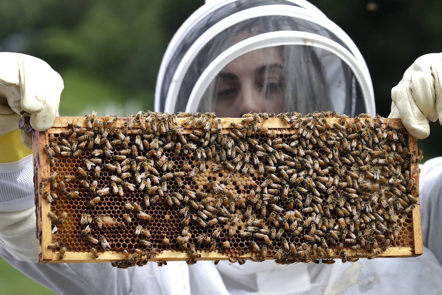 In this Aug. 7, 2019, photo, U.S. Army veteran Wendi Zimmermann transfers a frame of bees to a new box, while checking them for disease and food supply at the Veterans Affairs' beehives in Manchester, N.H.